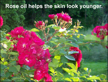 Rose oil helps fight the effects of aging.