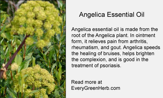 Angelica Essential Oil for arthritis and gout