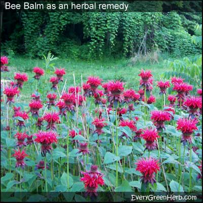 Bee Balm is a good herbal remedy for nervous conditions.