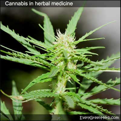 Cannabis and its uses in herbal medicine