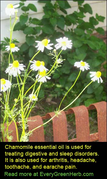 Chamomile essential oil used in aromatherapy