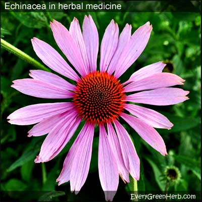 Echinacea is also known as purple coneflower.