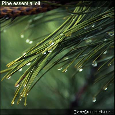 Pine essential oil is made from pine needles.