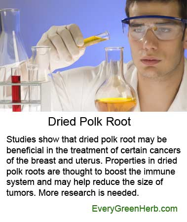 Polk root is under research for the treatment of cancer and tumors