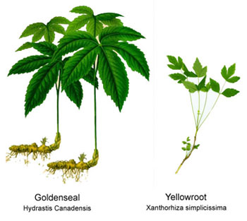 Goldenseal and Yellowroot side by side